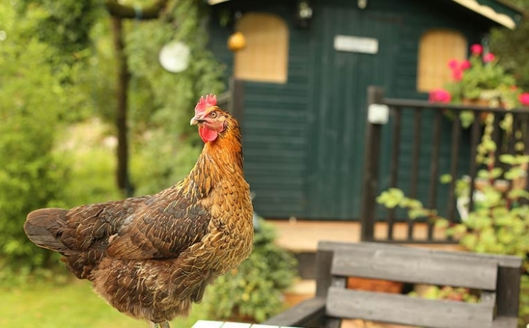 The year of the rooster... and the backyard chicken